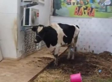 Tunisian Mobile Gamers Win a Cow