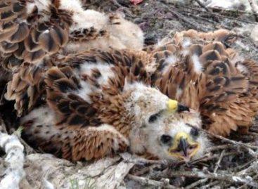 Birds of Prey Target Swimmers' Underwear to Line Nests