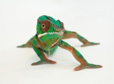 Here's What Happens When a Chameleon Looks in a Mirror