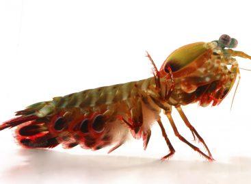 Mantis Shrimp Inspires Next Generation of Ultra-Strong Materials