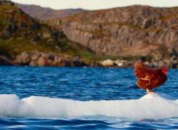 Meet Monique, the Hen Who is Sailing Around the World