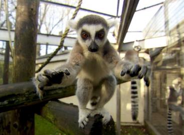 Primates Facing 'Extinction Crisis'