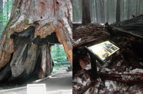 After More Than 100 Years, California's Iconic Tunnel Tree Is No More