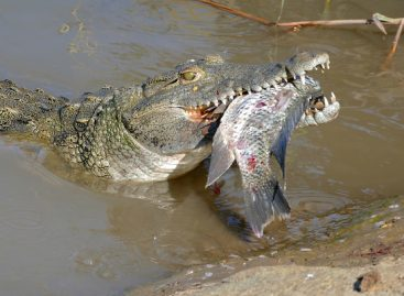 Large And Deadly Nile Crocodiles, Now in Florida