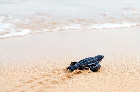 Sea Turtle Nesting Beaches Threatened by Microplastic Pollution